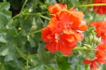 Futómuskátli - Pelargonium peltatum `Orange` - Narancs