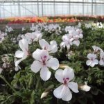Futómuskátli - Pelargonium peltatum `Happy Face White` - Fehér